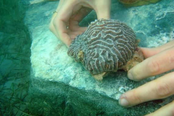 Rehabilitation und Aufzucht von Korallen