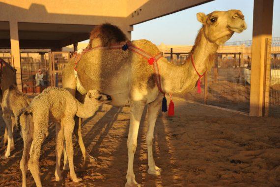 Al Marmoum Kamelrennen