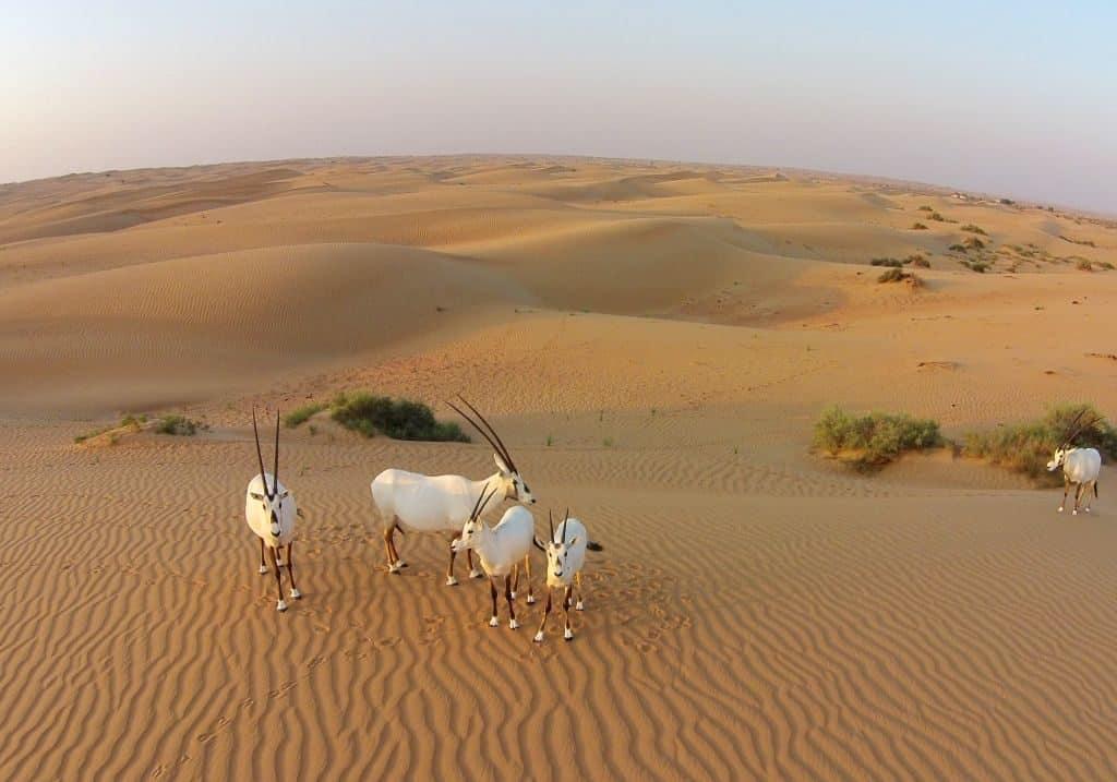 Antilopen in der Wüste Dubai