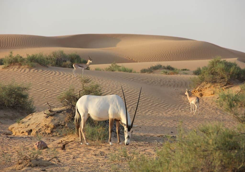 Antilopen in der Wüste Dubais